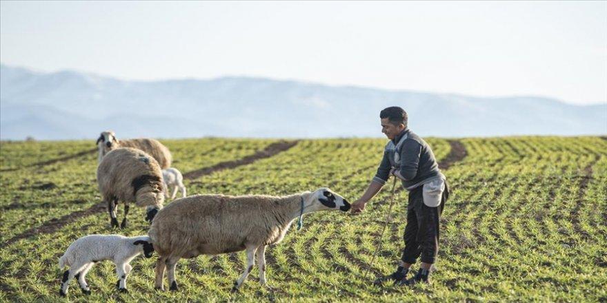 Küpesiz yakalanan hayvanlar artık kesime gönderilmek yerine ekonomiye kazandırılacak