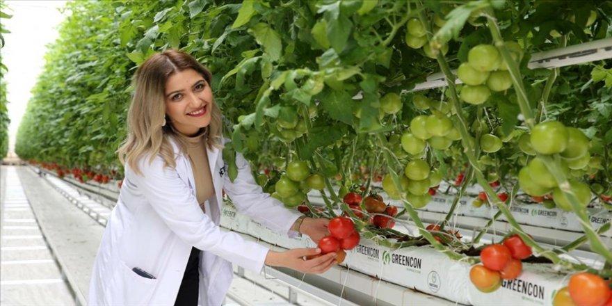 Sivas'ın ilk jeotermal serasında domates hasadı yapıldı