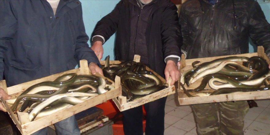 Yılan balığı avcılığı izin belgesiyle yapılacak