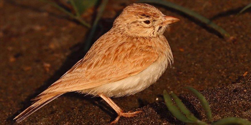 Arabistan toygarı türü kuş, Türkiye'de ilk kez Hatay'da gözlemlendi
