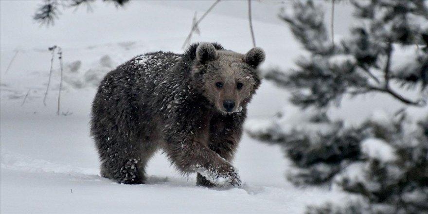 Kış uykusundan uyanan bozayılar yiyecek arayışına girdi