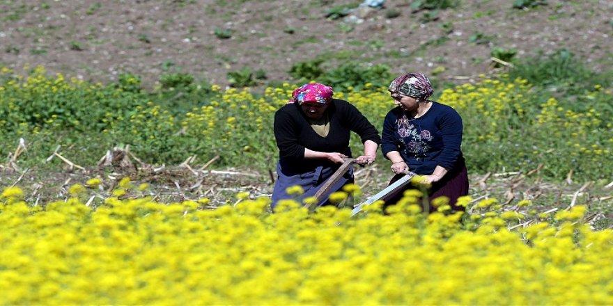 Doğu Karadeniz'de çiftçiler, ilkbaharın gelmesiyle tarlalarında temizliğe başladı