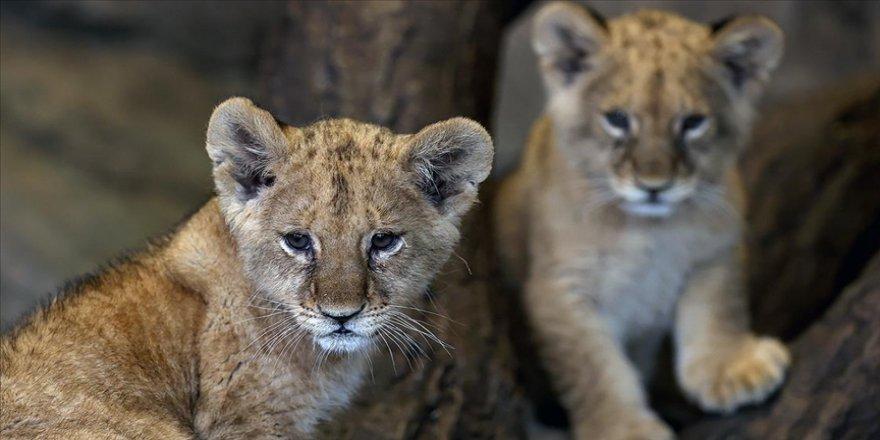 Aslan Park Tuzla'da doğan iki yavru aslanın isimleri, sosyal medya oylamasıyla belirlenecek