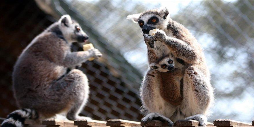 Lemur ailesinin ilk yavruları 'Kivi' ve 'Çilek' hayvanat bahçesinin maskotu oldu