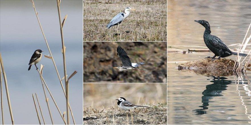 Güney yarımküreden gelen kuşlar 'Doğu'nun Çukurovası'nın sulak alanlarında konaklamaya başladı