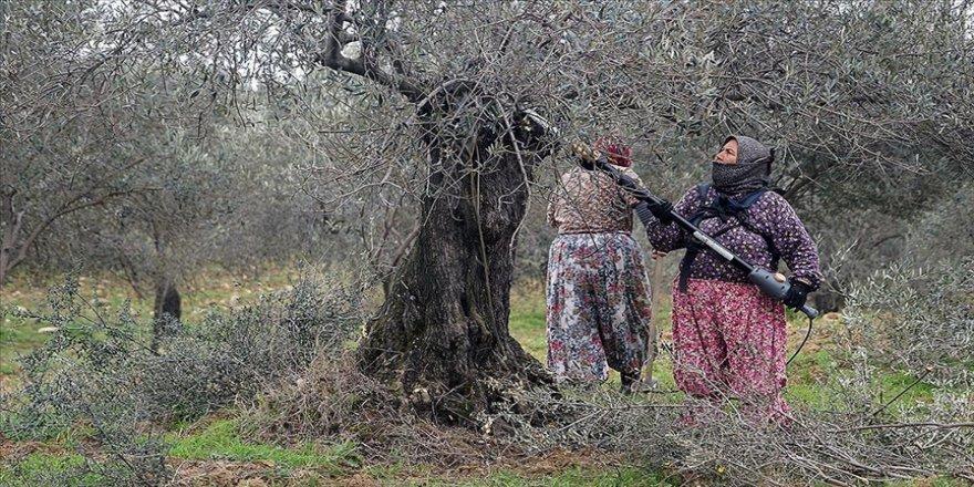 Kaz Dağı eteklerindeki zeytin ağaçlarına kadın eli değiyor