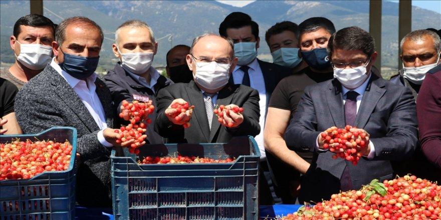 Manisa'da hasat edilen sezonun ilk kirazı, açık artırmada kilogramı 500 liradan satıldı