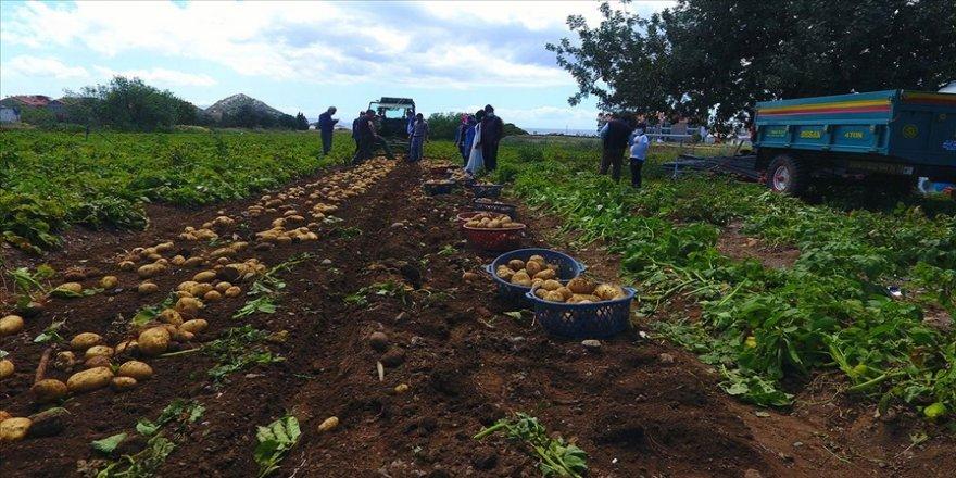 Datça'da hasadı başlayan turfanda patates üreticisini mutlu etti