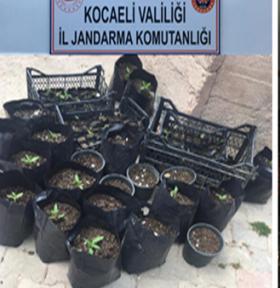 Kocaeli'de dikime hazır hale getirilen 157 kök kenevir bitkisi ele geçirildi.