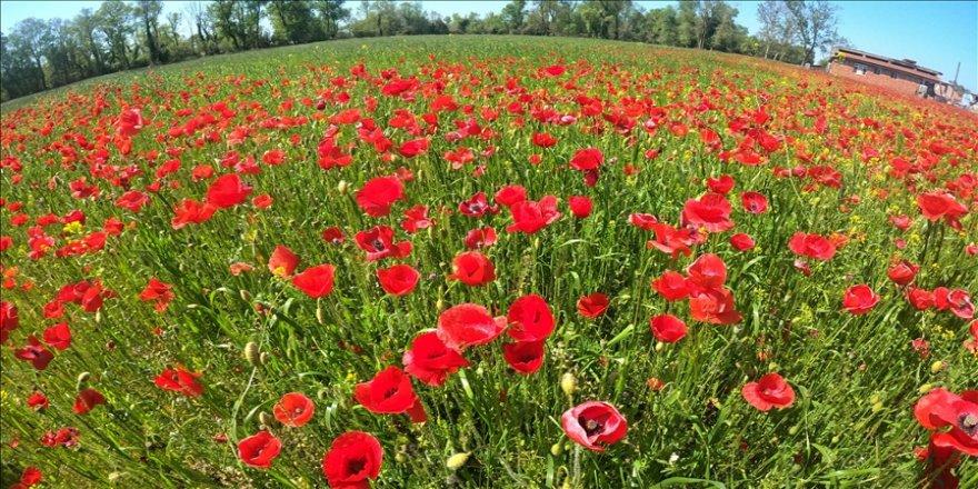 Kızılırmak Deltası ilkbaharda açan çiçeklerle renklendi