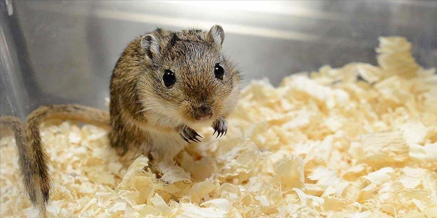 Dişi deney hayvanlarında şeker bağımlılığının daha hızlı geliştiği saptandı