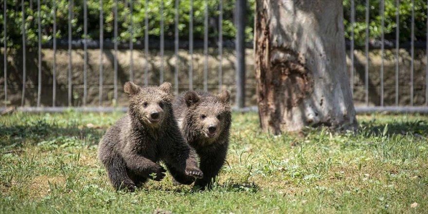 Yavru boz ayılar 'İnci' ve 'Güçlü' Tarsus Doğa Parkı'nın neşesi oldu