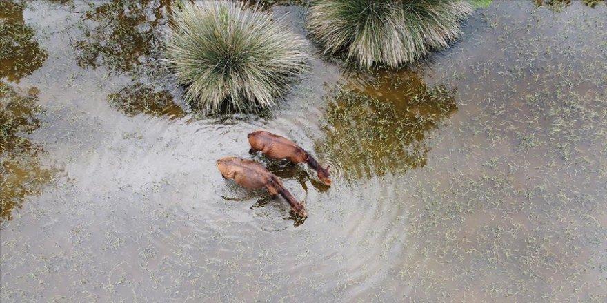 Sıcaktan etkilenen manda ve atlar Karacabey Longozu'nda serinliyor