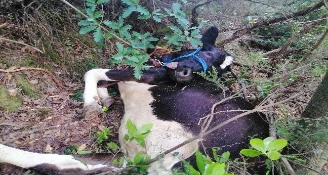 Uçuruma yuvarlanan büyükbaş hayvanı kurtaramayınca, çareyi kesmekte buldular