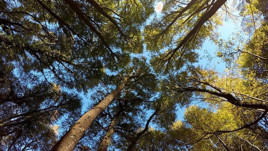 Uzmanlar yangınlardan etkilenen Kızılçam ormanı ekosisteminin yenilenmesi konusunda umutlu