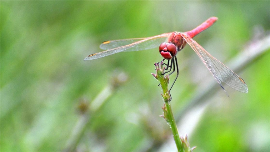 Doğa dostu 'Yusufçuklar' 2700 rakımda doğaya renk katıyor