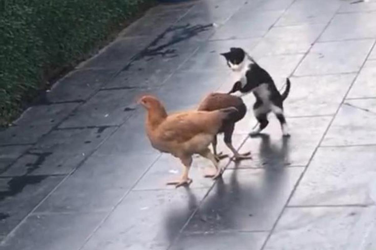 Kedi ile tavukların dostluğu!