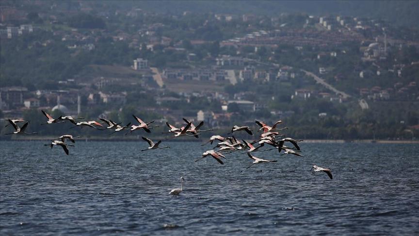 Flamingolar sonbaharın ilk günlerinde İzmit Körfezi'ne misafir oldu