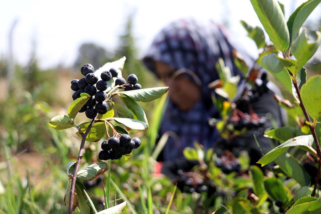 Eşinin sağlığı için yetiştirdiği 'süper meyve'de taleplere yetişemiyor