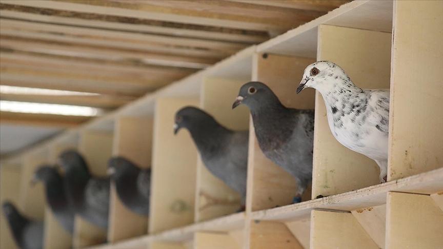 Posta güvercinlerine 'Güvercin Oteli'nde 5 yıldızlı bakım