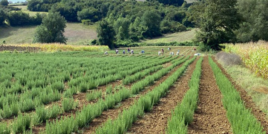 Kocaeli'de biberiye hasadı sürüyor