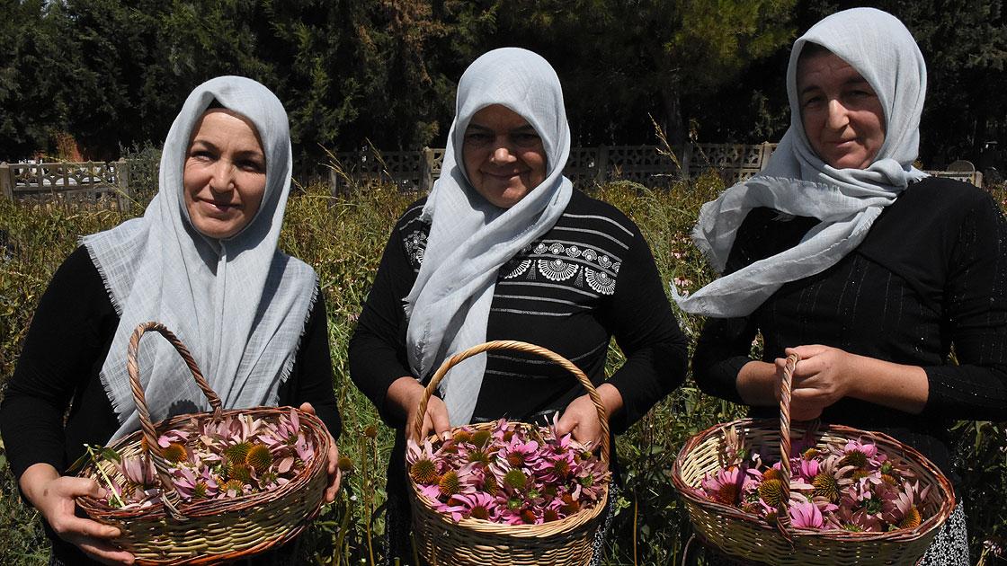 Çiftçi kadınlar adını yeni duydukları ekinezyadan yılda 5 kez para kazanıyor