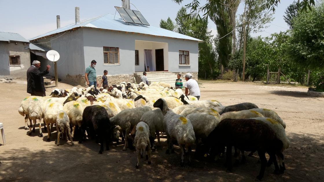 Van'da devletin sürü desteği 'tersine göç'ü başlattı
