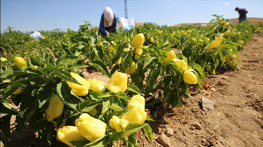 Elazığ'da yıllık 80 bin ton sebze üretimi ile ekonomiye katkı sağlanıyor