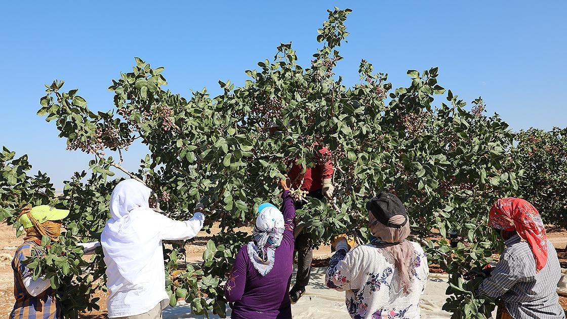 Gaziantepli üreticilerin 'kırmızı kabuklu' fıstık mesaisi sürüyor