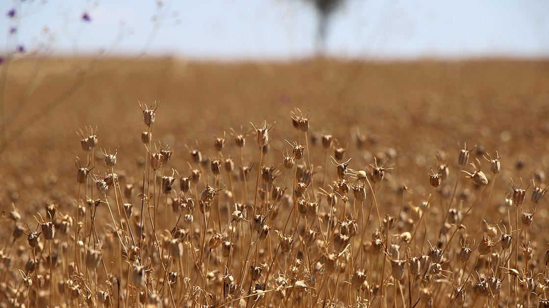 Atıl araziler çörek otu tarlasına dönüştü, çiftçinin yüzü güldü