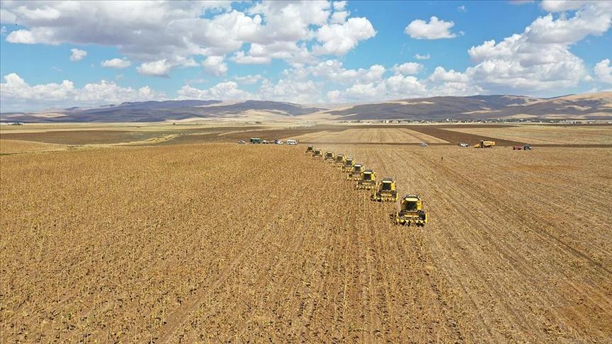 Muş Ovası'nda 28 milyon lira gelir beklenen ayçiçeği hasadına başlandı