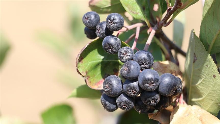Yalova'da 'süper meyve' aronya için hasat etkinliği yapıldı