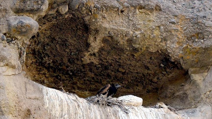 Nesli tehlike altındaki küçük akbabalar Sarıkamış'ta da ürüyor