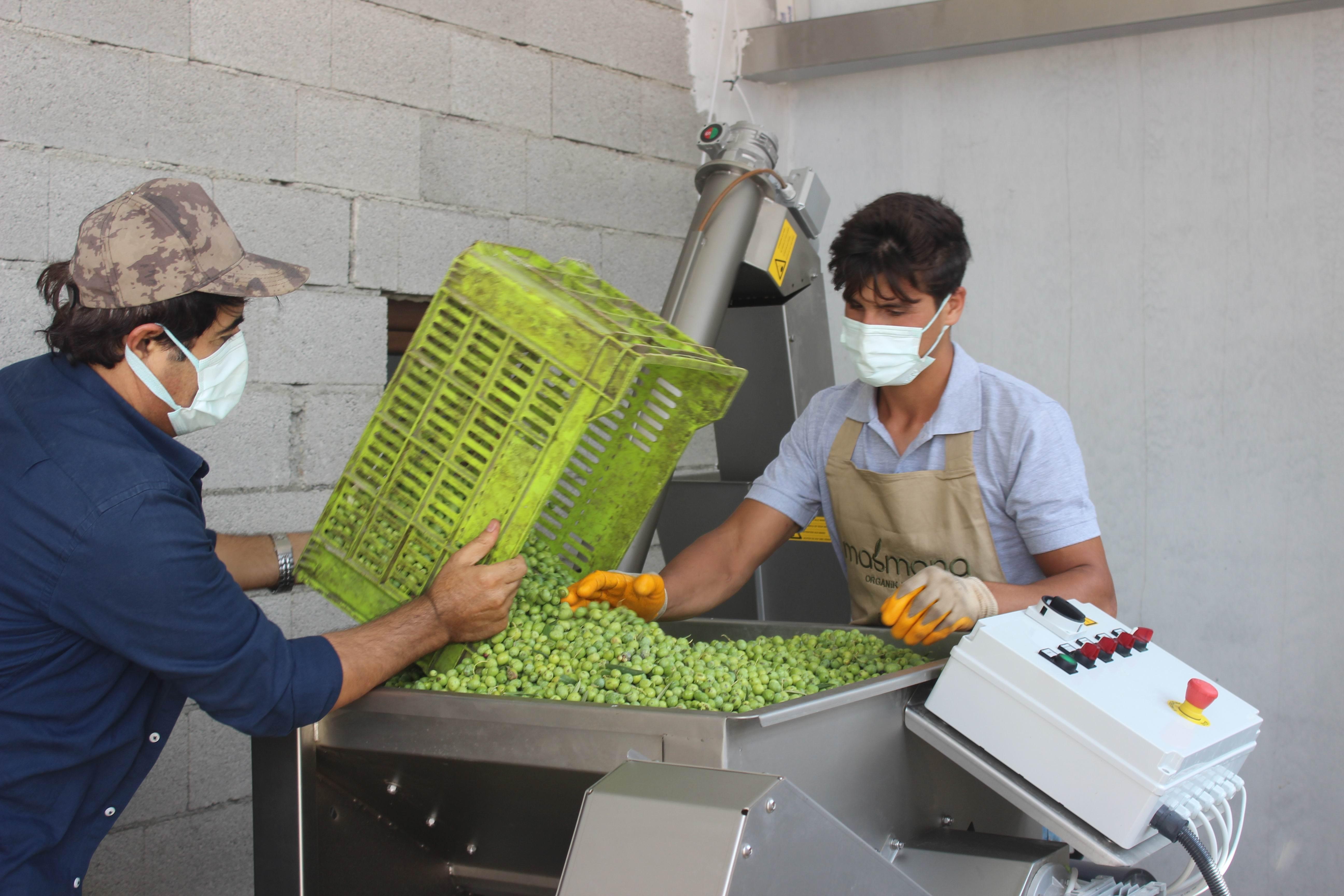 Kilis'te erken zeytin hasadı ile zeytinyağı üretimi de başladı