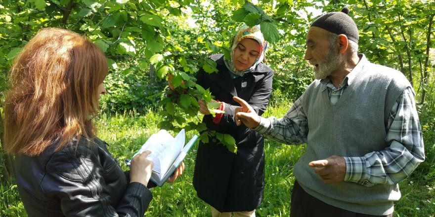 Kocaeli'de fındık bahçelerinde ıslah çalışması başlıyor