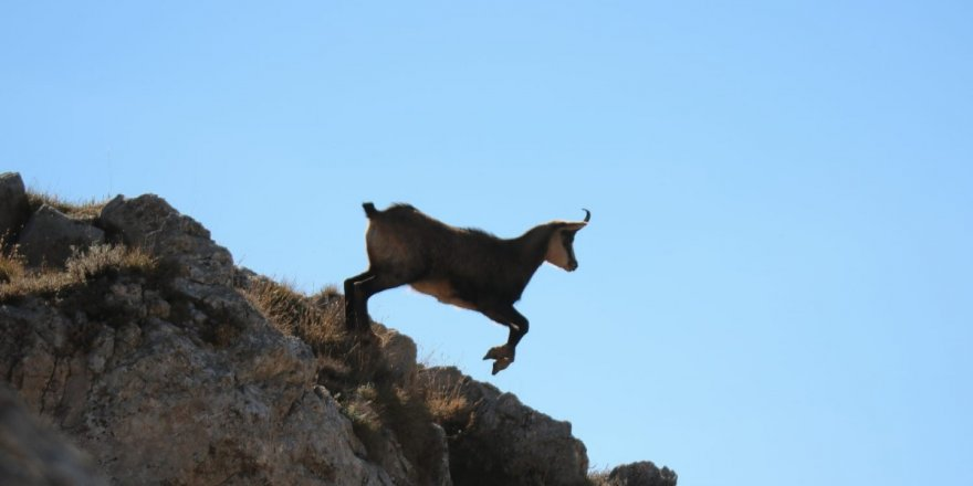 Tunceli'de çengel boynuzlu dağ keçisi görüntülendi