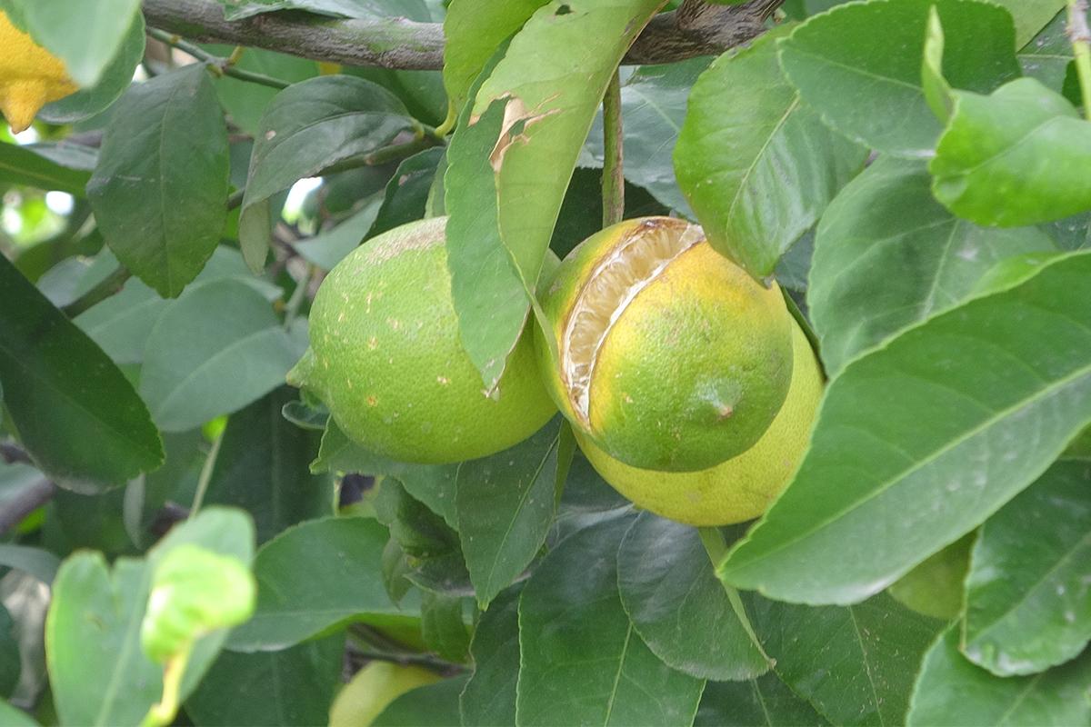 Çukurova'da limon dalında kaldı