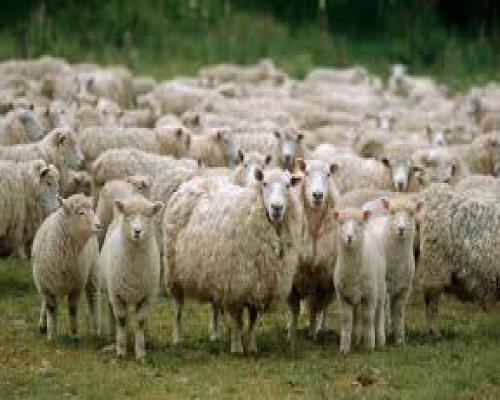 Koyunlara mikroçip takılıyor