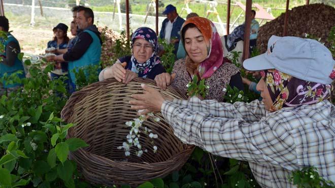 Burdur'da şakayık üretimi başlatıldı