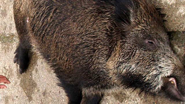 Camiye domuz leşi atan şahıslar yakalandı!