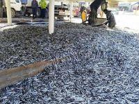 Balıkçılar 350 ton hamsi avladı