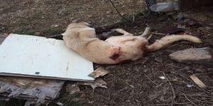 Silahlı saldırıya uğrayan köpek hayatını kaybetti