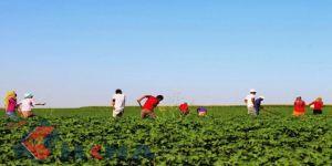Mevsimlik tarım işçilerinin ortalama günlük ücretleri arttı