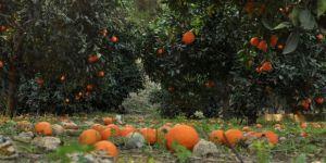 Cezaevi firarisi portakal bahçesinde yakalandı