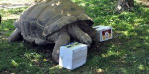 97 yaşındaki kaplumbağanın derbi tahmini tuttu