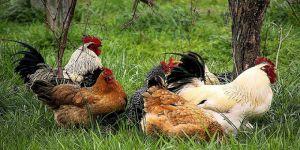 Etinden,yumurtasından yararlandık,şimdide dışkısı yakıt olacak