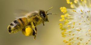 Havaların ısınmasıyla arılara dikkat