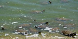 Kaplumbağalar Ekmek Yemek İçin Birbirini Eziyor