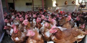 5 Tavukla Başladı, Şimdi 500 Tavuğu Var