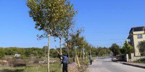 Başiskele'de Ağaçlara Periyodik Bakım Yapıldı
